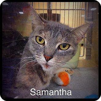 Abyssinian Cat for adoption in El Dorado Hills, California - Samantha
