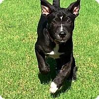 Adopt A Pet :: Babe - Gilbert, AZ