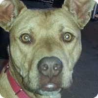 Pit Bull Terrier Mix Dog for adoption in Springfield, Missouri - Danny Boy