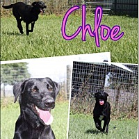 Adopt A Pet :: Chloe the Black Lab - Cat Spring, TX
