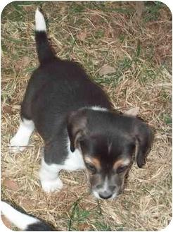 Beagle Puppy for adoption in cedar grove, Indiana - Bruiser