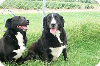 Border Collie Dog for adoption in Tunica, Mississippi - BREWSKY AND SABRINA - bonded pair