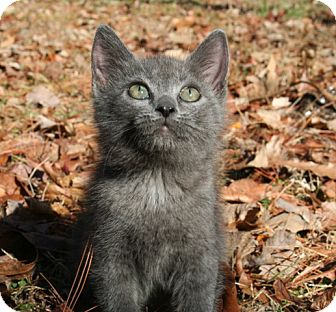 American Shorthair Kitten for adoption in Hagerstown, Maryland - Ren
