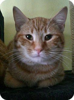 Domestic Shorthair Cat for adoption in Byron Center, Michigan - Josiah