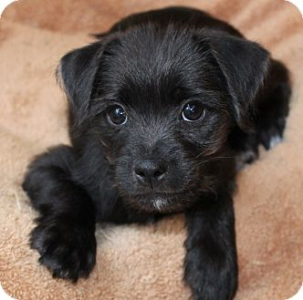 Schnauzer (Miniature)/Jack Russell Terrier Mix Puppy for adoption in La Habra Heights, California - Tango