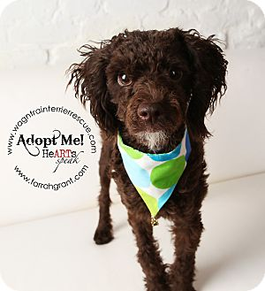 Poodle (Miniature) Dog for adoption in Omaha, Nebraska - Jasper