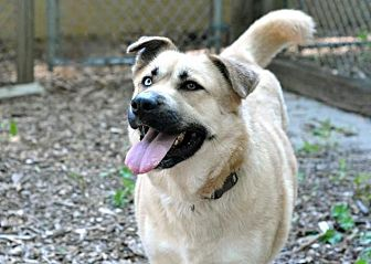 Shepherd (Unknown Type)/Husky Mix Dog for adoption in South Bend, Indiana - Electra