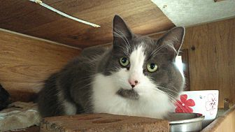Domestic Mediumhair Cat for adoption in Chapman Mills, Ottawa, Ontario - CHRISSY