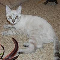 Siamese Kitten for adoption in Pompano Beach, Florida - Lokey