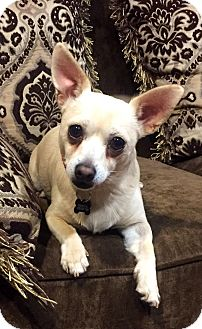 Chihuahua/Jack Russell Terrier Mix Dog for adoption in Santa Monica, California - Joey