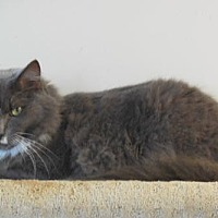 Domestic Mediumhair Cat for adoption in Satellite Beach, Florida - Diesel