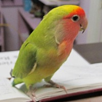 Lovebird for adoption in Edgerton, Wisconsin - Sassy