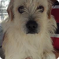 Adopt A Pet :: Boudin - Las Vegas, NV