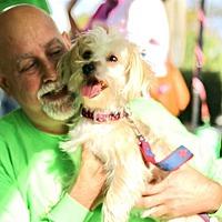 Shih Tzu Mix Dog for adoption in West Palm Beach, Florida - Shawney