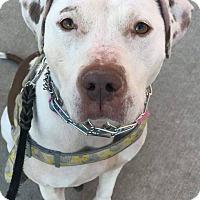 Adopt A Pet :: Zoey - Bronx, NY