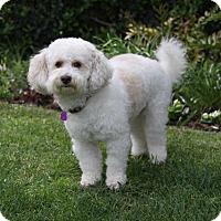 Adopt A Pet :: WILLIS - Newport Beach, CA