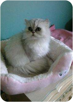 Persian Cat for adoption in Columbus, Ohio - Duchess