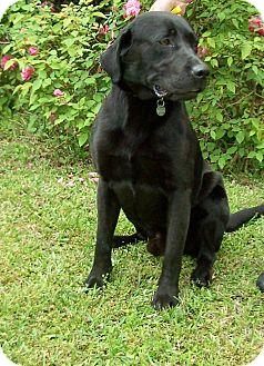 Labrador Retriever Dog for adoption in Greensboro, Georgia - Cole
