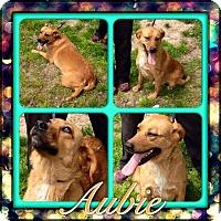 Adopt A Pet :: Aubie - Pompton Lakes, NJ