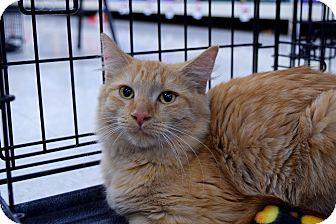 Domestic Mediumhair Kitten for adoption in Flushing, Michigan - Nilla