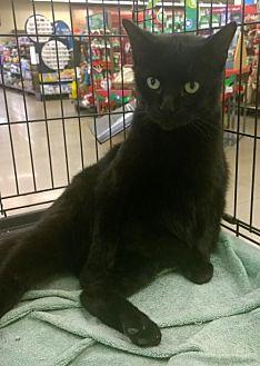 Domestic Shorthair Cat for adoption in Columbus, Ohio - Bagheera