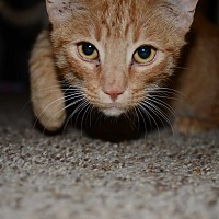 Domestic Shorthair Cat for adoption in Loveland, Colorado - Stubbs