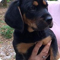 Adopt A Pet :: Floki - Bradenton, FL