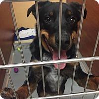 Adopt A Pet :: Max - St. Charles, MO