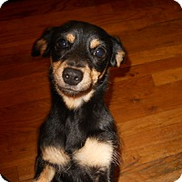 Adopt A Pet :: Danielle - dewey, AZ