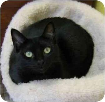 Domestic Shorthair Cat for adoption in Plainville, Massachusetts - Little One