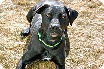 Labrador Retriever Mix Dog for adoption in Meridian, Idaho - Montana