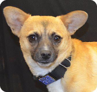 Chihuahua/Shiba Inu Mix Dog for adoption in Bridgeton, Missouri - Phoenix