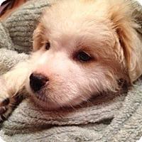 Adopt A Pet :: Nevilla Pup - Danbury, CT