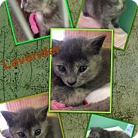 Adopt A Pet :: Lavender - McDonough, GA