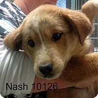 Adopt A Pet :: Nash - Greencastle, NC
