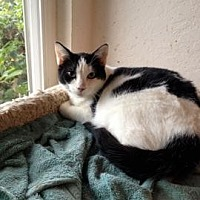 Domestic Shorthair Cat for adoption in San Jose, California - GAP-Dimples