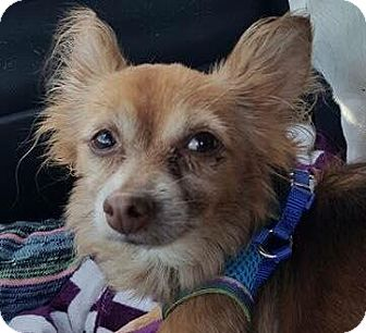Chihuahua Mix Dog for adoption in Hazlet, New Jersey - Loki aka  Lucky