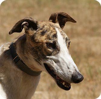 Greyhound Dog for adoption in Portland, Oregon - Toby