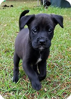 Labrador Retriever Mix Puppy for adoption in Groton, Massachusetts - Tilly