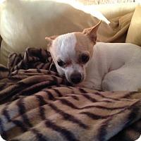 Adopt A Pet :: Martini - Loxahatchee, FL