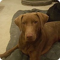 Adopt A Pet :: Cooper - Brattleboro, VT
