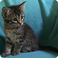 Adopt A Pet :: Troi - Nashville, TN