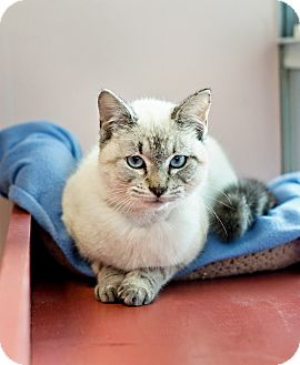 Balinese Cat for adoption in Carencro, Louisiana - Valentine