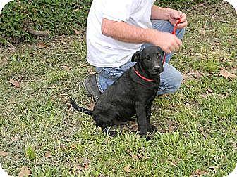 Labrador Retriever/Australian Cattle Dog Mix Dog for adoption in Baton Rouge, Louisiana - Mario
