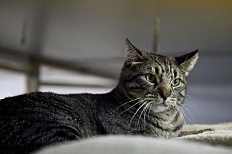 Domestic Shorthair Cat for adoption in Midway City, California - Calvin