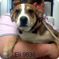 Adopt A Pet :: Eli - baltimore, MD
