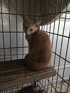 Domestic Shorthair Kitten for adoption in Sunny Isles Beach, Florida - Sherbert