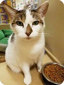Domestic Shorthair Cat for adoption in Kalamazoo, Michigan - Mia 2 - PetSmart