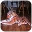Photo 3 - Domestic Mediumhair Kitten for adoption in Union, South Carolina - Amber