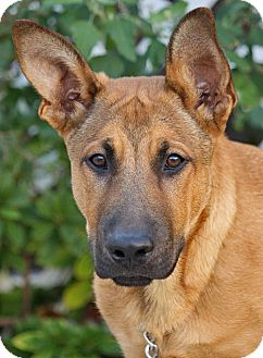 German Shepherd Dog/Labrador Retriever Mix Puppy for adoption in Los Angeles, California - Wyatt von Werdau